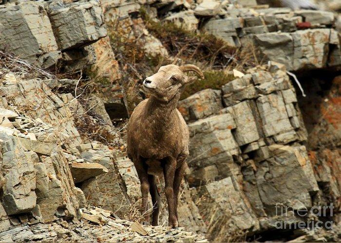Sheep On Rocks Greeting Cards