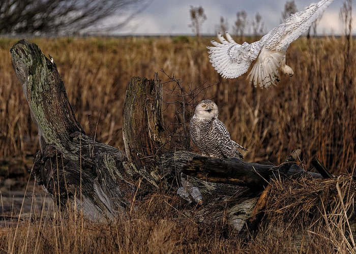 Canada Greeting Card featuring the photograph Birds Of Bc - No.14 - Snowy Owl Fly By by Paul W Sharpe Aka Wizard of Wonders