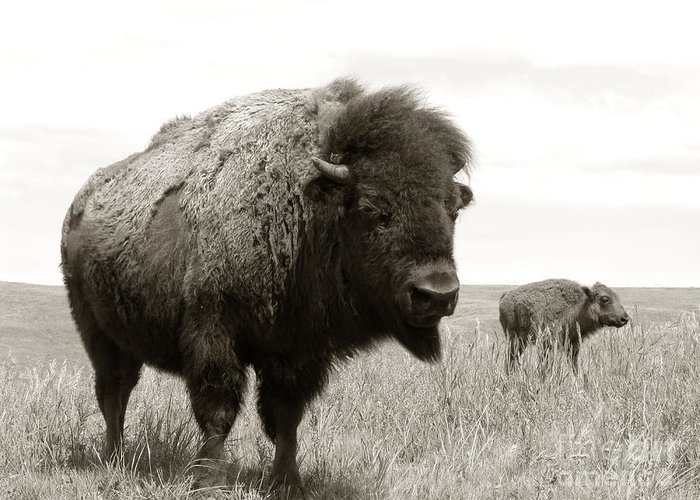 America Greeting Card featuring the photograph Bison And Calf by Olivier Le Queinec