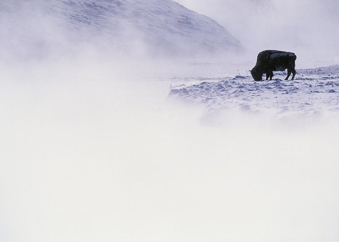 Yellowstone National Park Greeting Card featuring the photograph Bison Grazing In Winter by Bobby Model