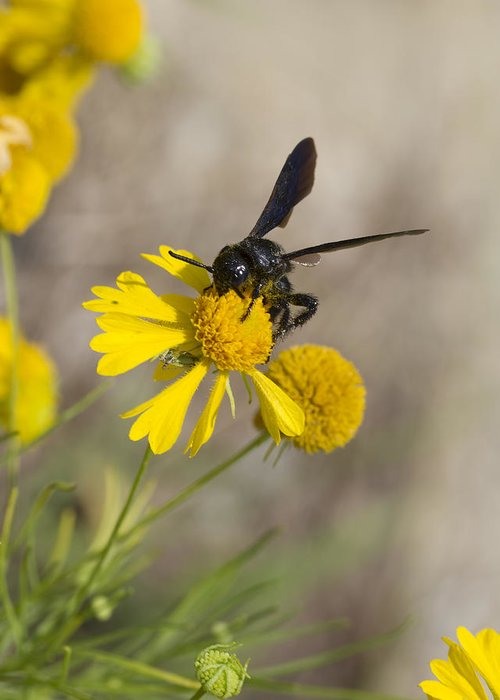 Bitterweed Greeting Card featuring the photograph Bitterweed And Black Wasp by Kathy Clark
