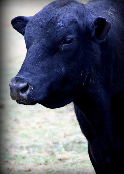 Cattle Photographs Greeting Card featuring the photograph Black Angus Bull - Side Profile by Tam Graff