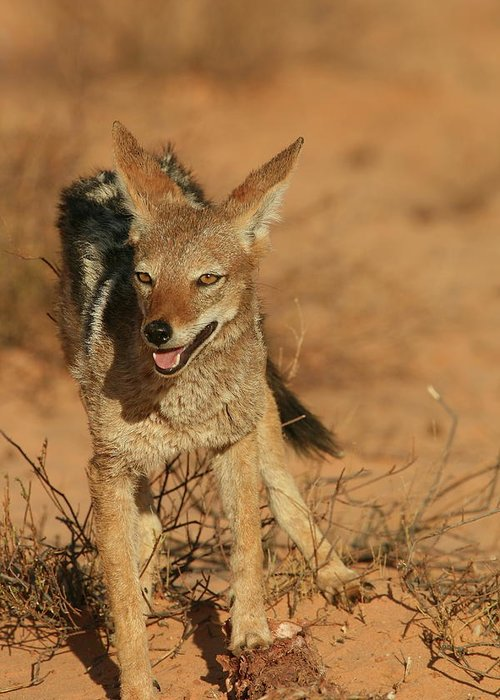 Africa Greeting Card featuring the photograph Black-backed Jackal by Bruce J Robinson