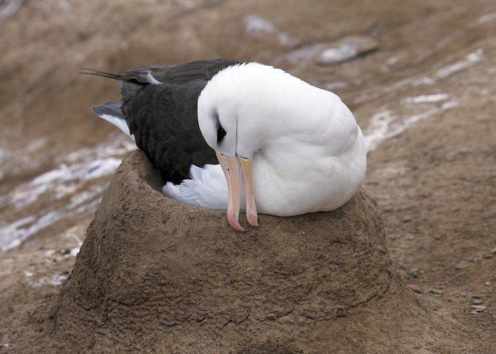 Black-browed Albatross Greeting Card featuring the photograph Black-browed Albatross Nesting by Charlotte Main