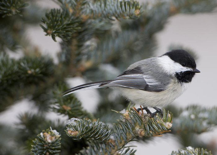 Day Greeting Card featuring the photograph Black-capped Chickadee, Poecile by John Cancalosi