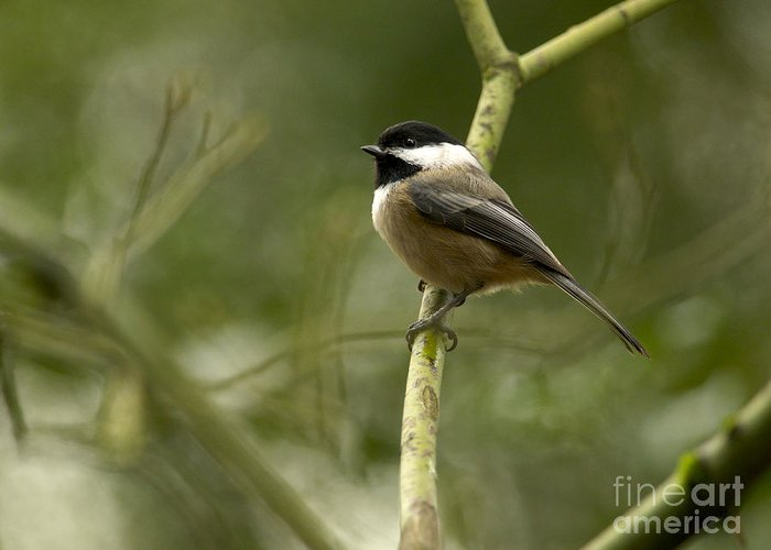 Black-capped Chickadee Greeting Card featuring the photograph Black-capped Chickadee With Branch Bokeh by Sharon Talson