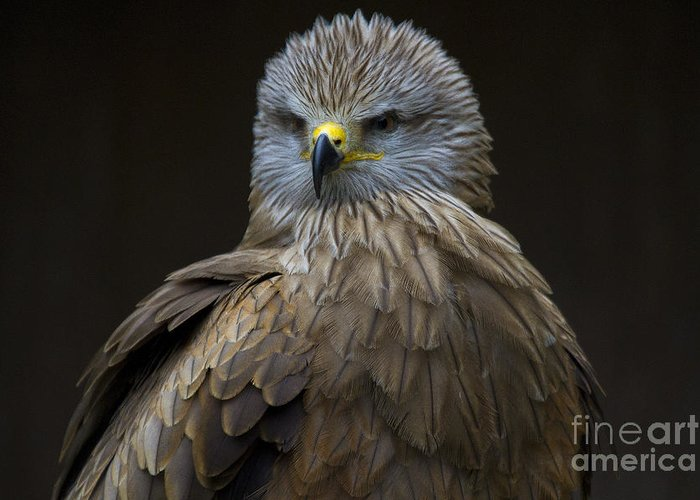 Heiko Greeting Card featuring the photograph Black Kite 1 by Heiko Koehrer-Wagner