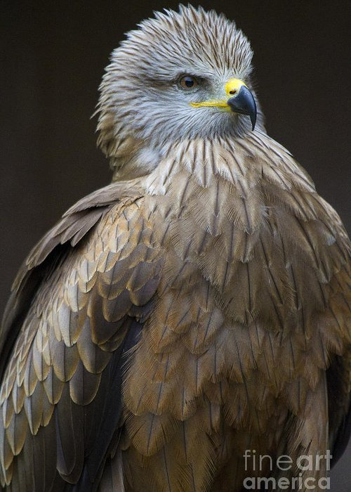 Bird Of Prey Greeting Card featuring the photograph Black Kite 4 by Heiko Koehrer-Wagner