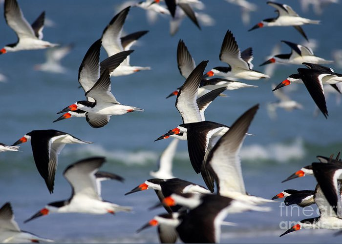 Clarence Holmes Greeting Card featuring the photograph Black Skimmers Flock by Clarence Holmes