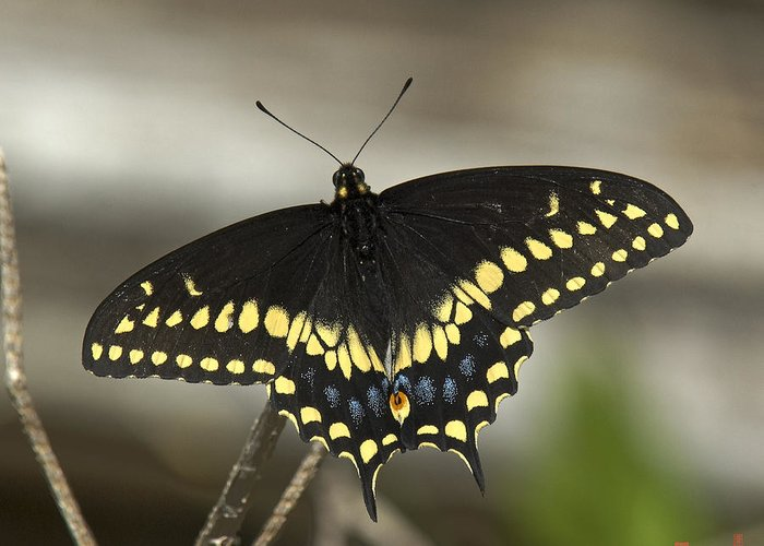 Insect Greeting Card featuring the photograph Black Swallowtail Din103 by Gerry Gantt
