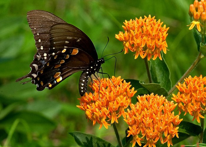 Insect Greeting Card featuring the photograph Black Swallowtail Visiting Butterfly Weed Din012 by Gerry Gantt