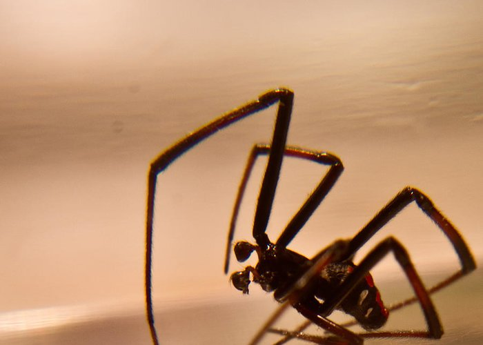 Latrodectus Greeting Card featuring the photograph Black Widow Male by Douglas Barnett