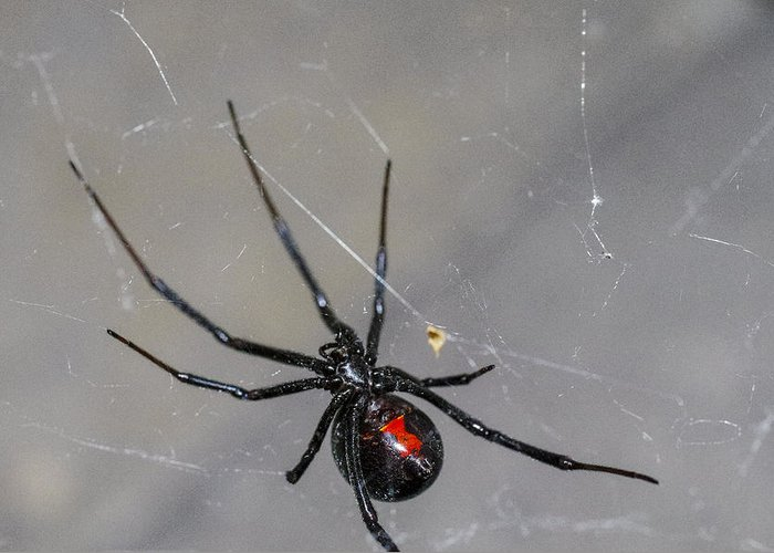 Black Widow Spider Greeting Card featuring the photograph Black Widow Spider by Scott McGuire