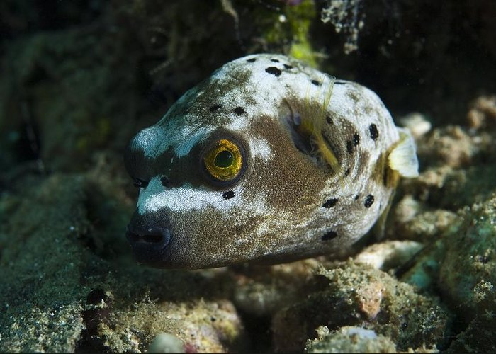 Blackspotted Puffer Greeting Card featuring the photograph Blackspotted Puffer by Matthew Oldfield
