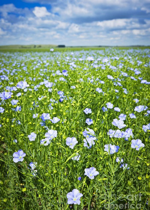 Flax Greeting Card featuring the photograph Blooming Flax Field by Elena Elisseeva
