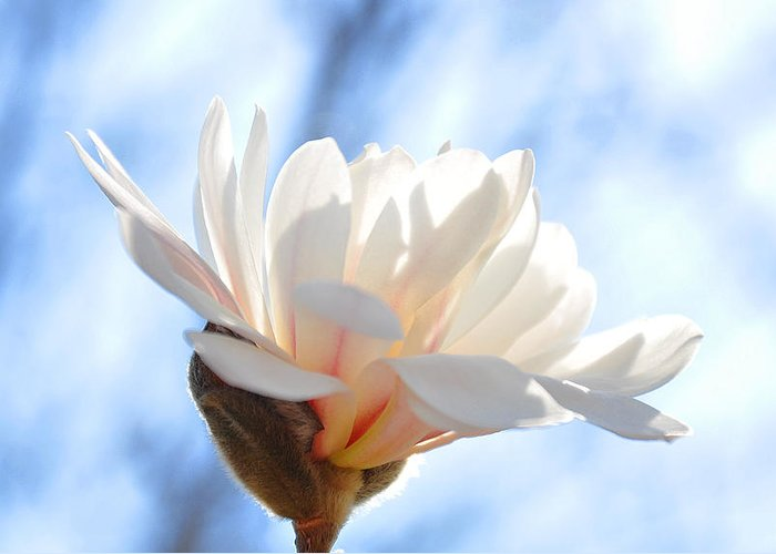 Flowers Photography Greeting Card featuring the photograph Blooming Star Magnolia by Eugene Gabry