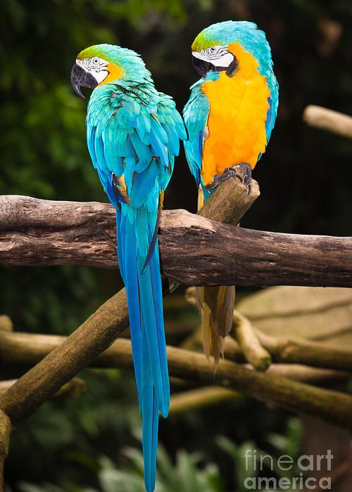 Blue Greeting Card featuring the photograph Blue-and-yellow Macaw by Johan Larson