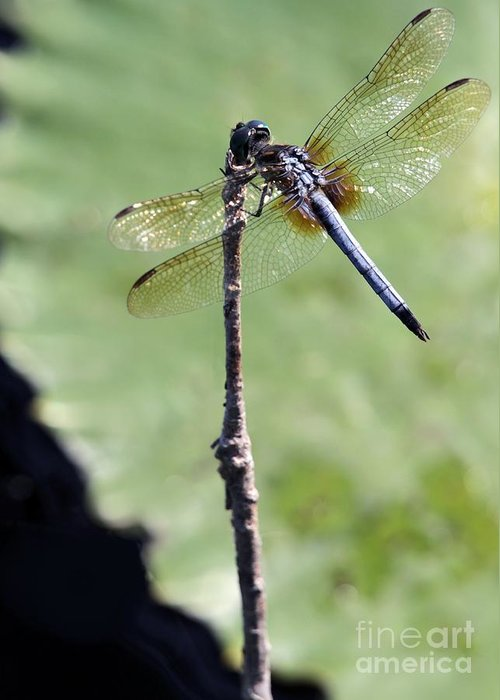 Dragonfly Greeting Card featuring the photograph Blue Dasher Dragonfly Dancer by Sabrina L Ryan
