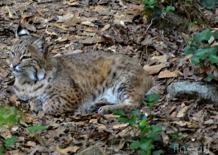 Animals Greeting Card featuring the photograph Blue Eyed Male Bobcat by Eva Thomas