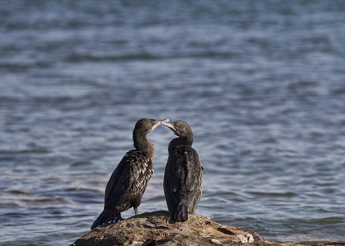 Cormorants Greeting Card featuring the photograph Blue Eyes Kissing by Douglas Barnard
