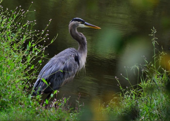 Paul Lyndon Phillips Greeting Card featuring the photograph Blue Heron Observing Pond - 6955k by Paul Lyndon Phillips