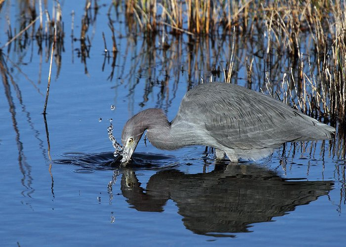 Least Greeting Card featuring the photograph Blue Heron Splash by Rick Mann