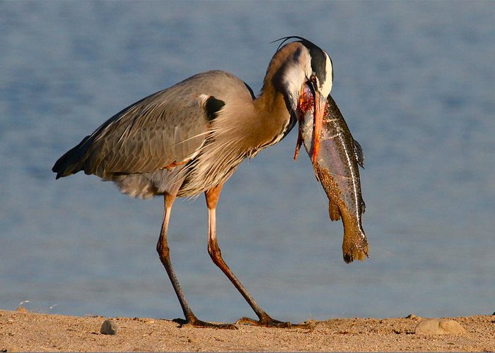 Wildlife Prints Greeting Card featuring the photograph Blue Heron Vs. Rainbow Trout by Paul Marto