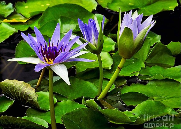 Aquatic Greeting Card featuring the photograph Blue Lilies by Nick Zelinsky