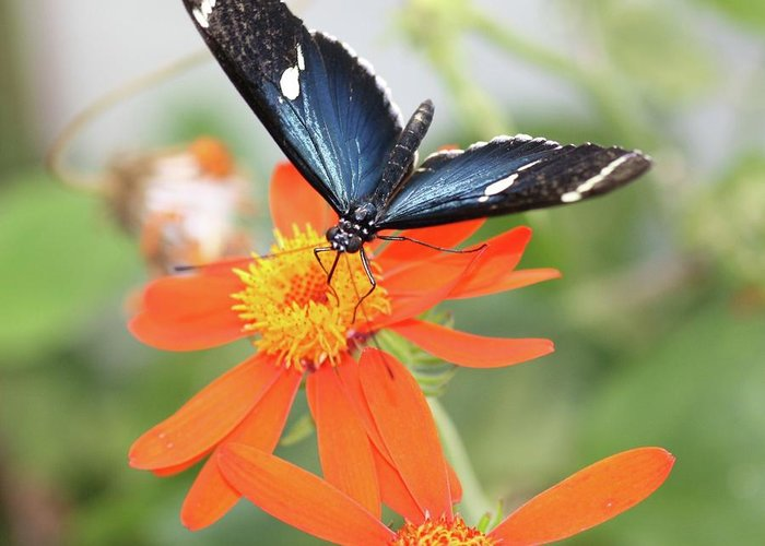 Mexican Sunflower Greeting Card featuring the photograph Blue Sara On Orange Sunflower by Andrea OConnell