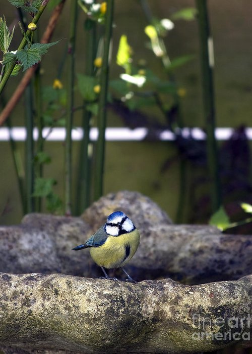 Animal Greeting Card featuring the photograph Blue Tit On Bird Bath by Jane Rix