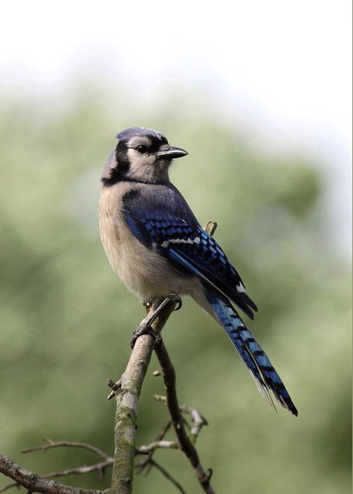 Bluejay Greeting Card featuring the photograph Bluejay - Bird by Travis Truelove