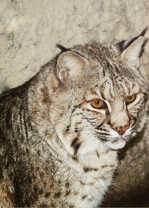 Bobcat Greeting Card featuring the photograph Bobcat Iv by DiDi Higginbotham