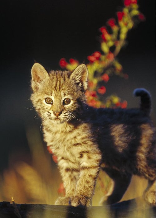 00173214 Greeting Card featuring the photograph Bobcat Kitten Standing On Log North by Tim Fitzharris