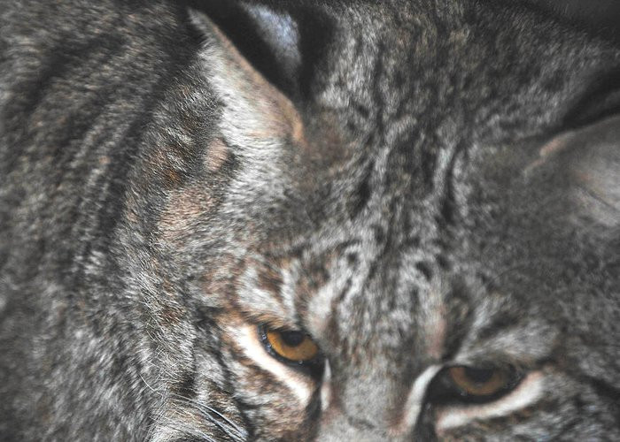 Bobcat Greeting Card featuring the photograph Bobcat Love by DiDi Higginbotham