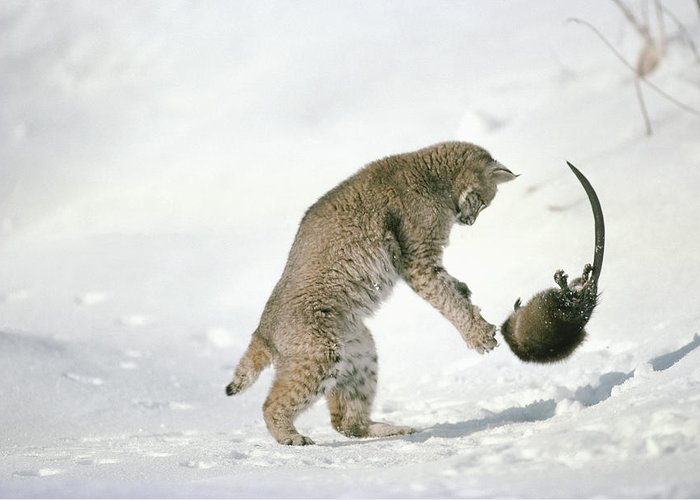 Mp Greeting Card featuring the photograph Bobcat Lynx Rufus Hunting Muskrat by Michael Quinton