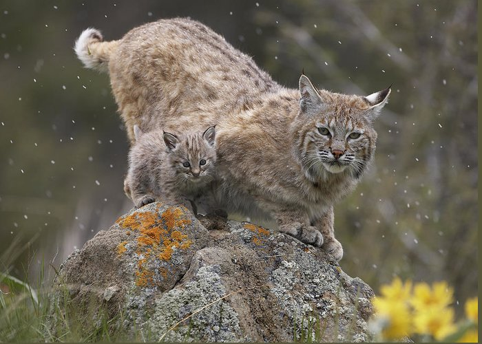 00177002 Greeting Card featuring the photograph Bobcat Mother And Kitten In Snowfall by Tim Fitzharris