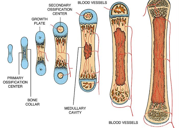 Science Greeting Card featuring the photograph Bone Growth by Science Source