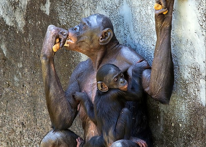 Wildlife Greeting Card featuring the photograph Bonobo 1 by Kenneth Albin
