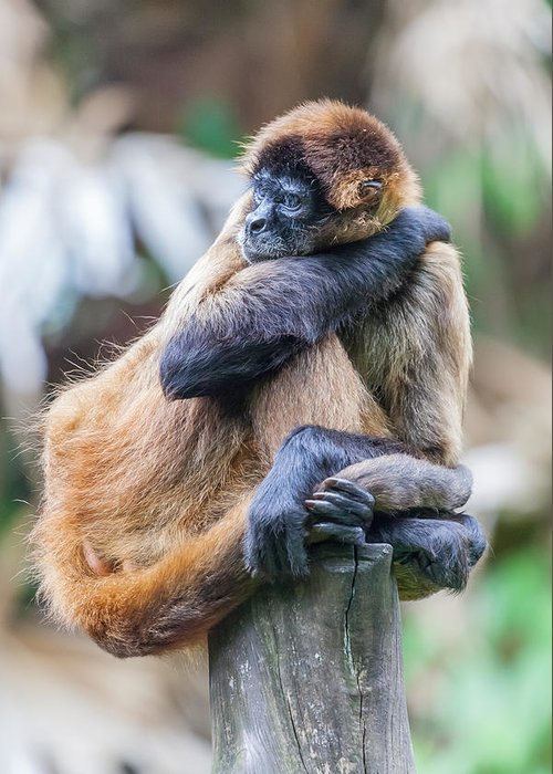 Spider Monkey Greeting Card featuring the photograph bored Spider Monkey by Craig Lapsley