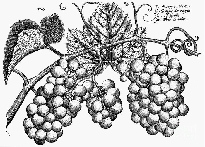 Biology Greeting Card featuring the photograph Botany: Grapes by Granger