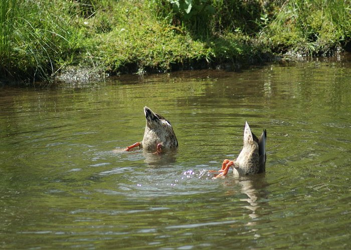 Ducks Greeting Card featuring the photograph Bottoms Up by Phyllis Britton