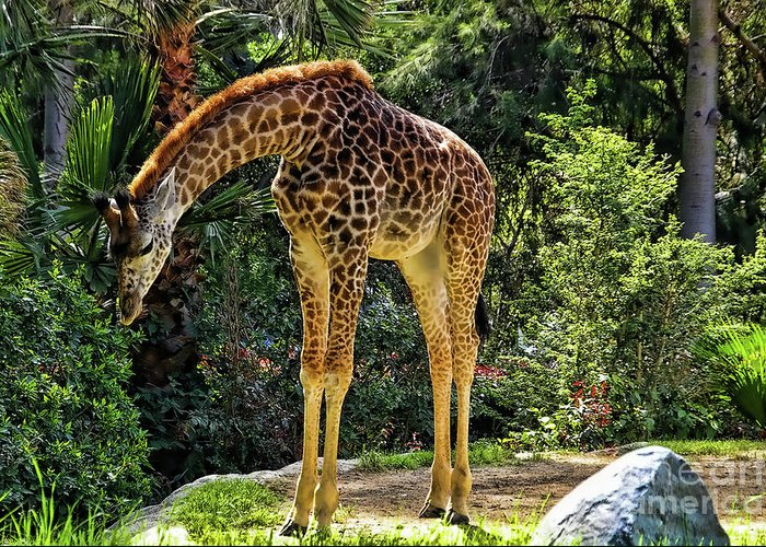 Bowing Giraffe Greeting Card featuring the photograph Bowing Giraffe by Mariola Bitner