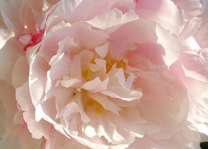 Peony Greeting Card featuring the photograph Bowl Of Petals by Cathy Sosnowski