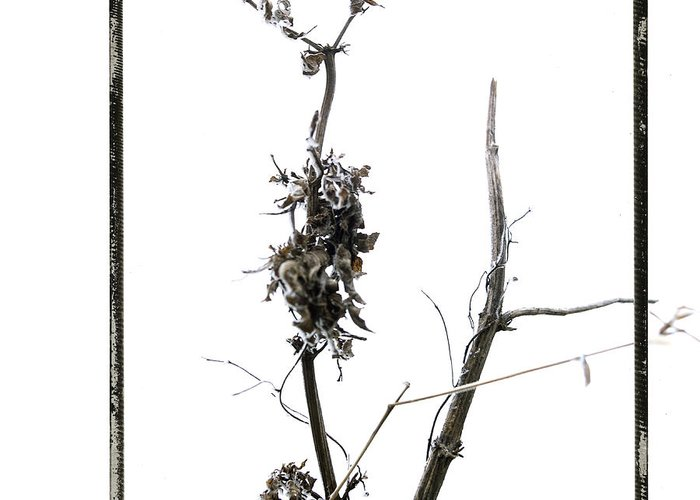 Worms-eye Greeting Card featuring the photograph Branch Of Dried Out Flowers. by Bernard Jaubert
