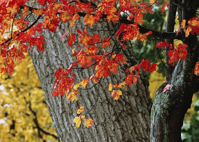 Outdoors Greeting Card featuring the photograph Bright Red Maple Leaves Against An Oak by Tim Laman
