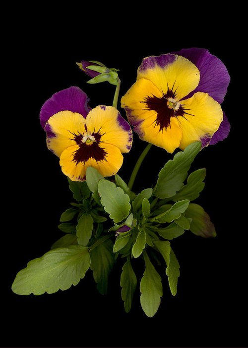 Pansy Greeting Card featuring the photograph Bright Shinny Faces by Sandi F Hutchins