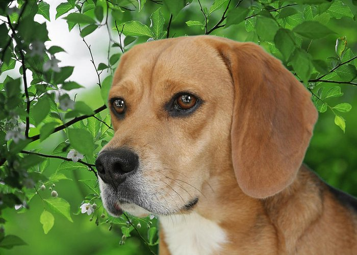 Beagles Greeting Card featuring the photograph British Beauty by Christine Till