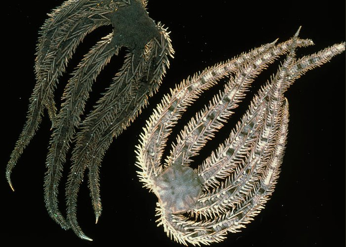 America Greeting Card featuring the photograph Brittle Stars by Lucent Technologies' Bell Labs