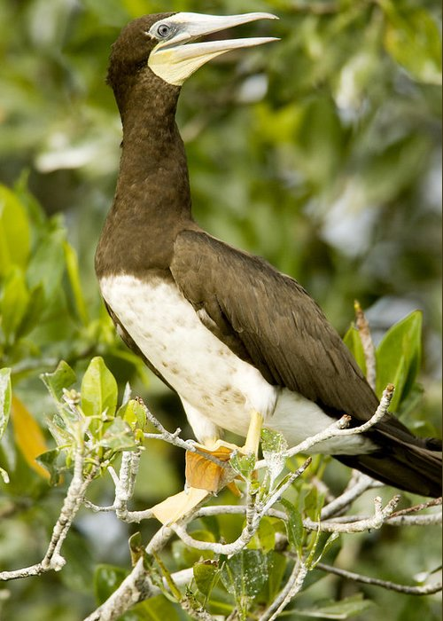 Mangrove Trees Greeting Card featuring the photograph Brown Booby Sula Leucogaster by Tim Laman