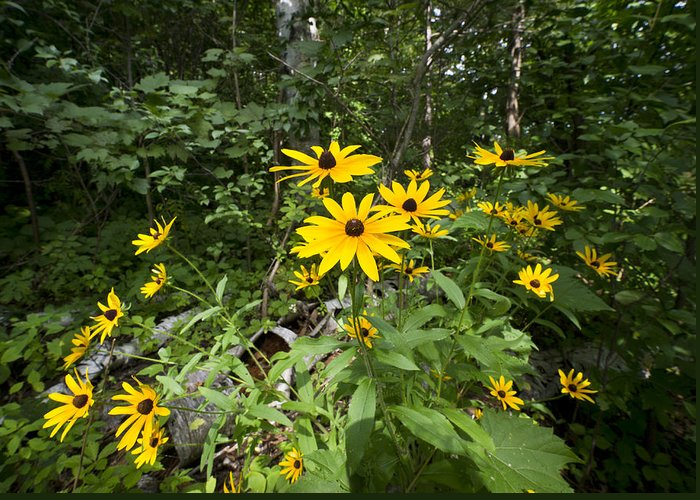 Black-eyed Susan Greeting Card featuring the photograph Brown-eyed Susan In The Woods by Gary Eason